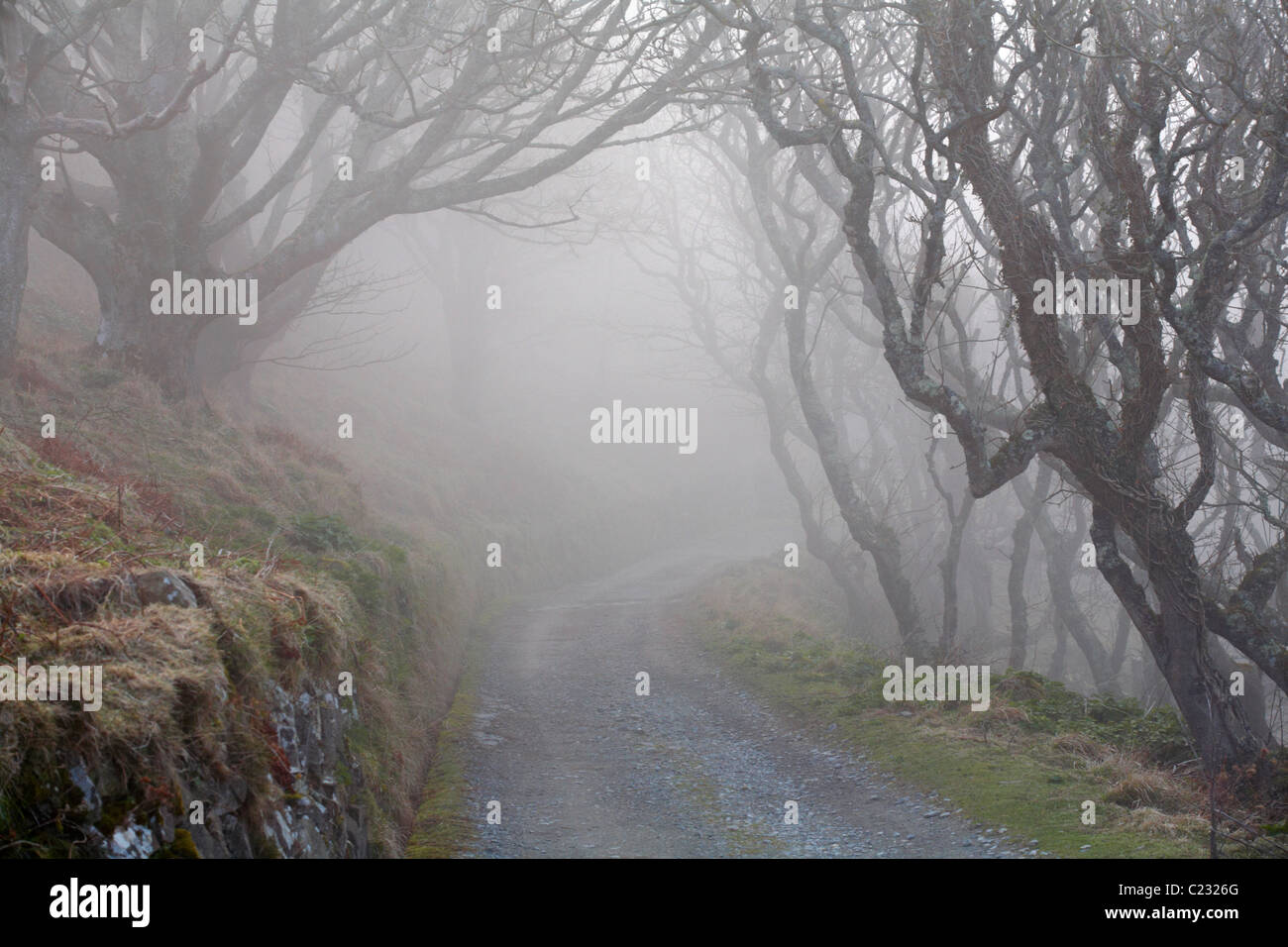 pathway and gnarled trees enveloped by thick fog on Lundy Island, Devon, England UK in March - Stock Image