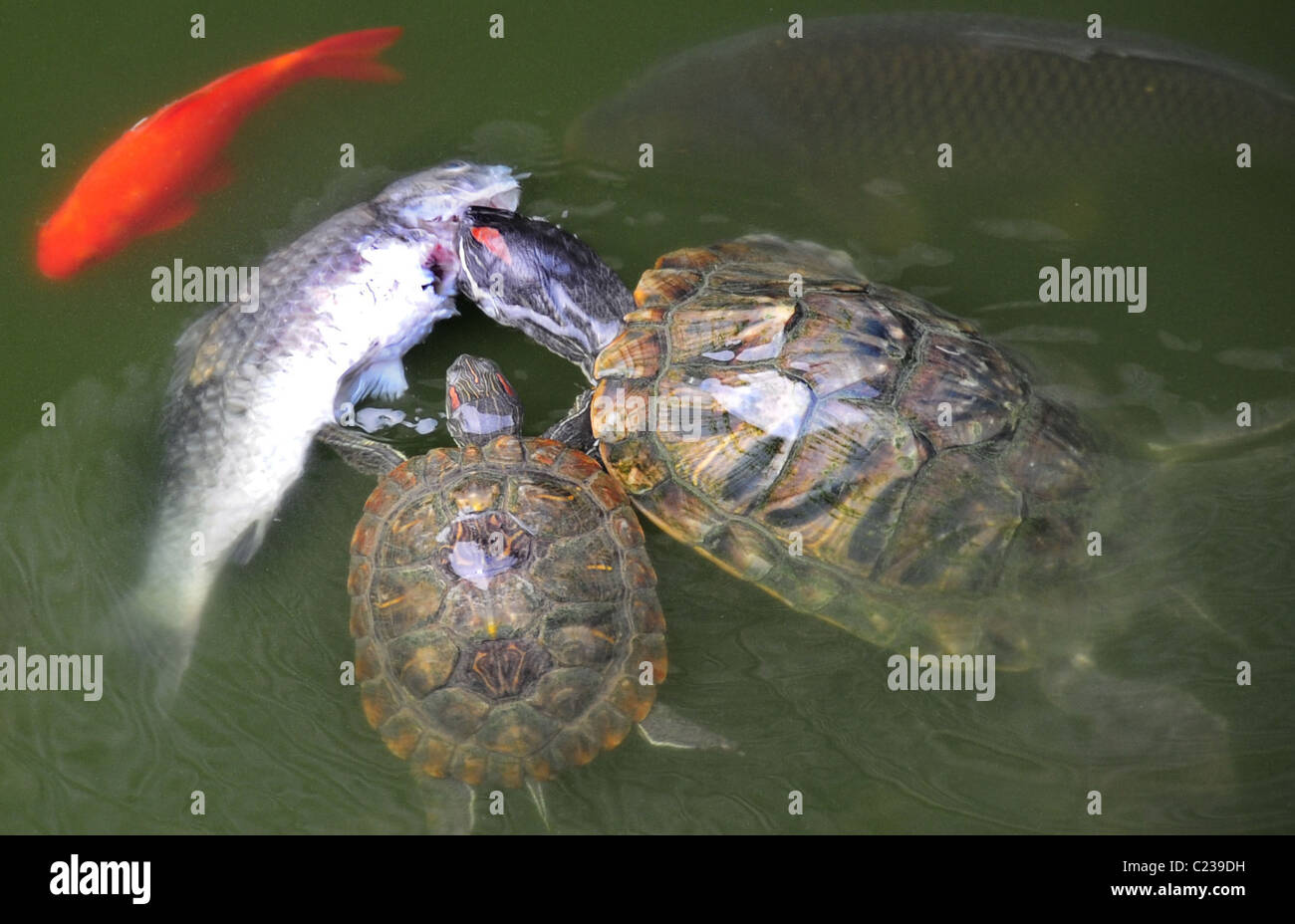 Turtles turn predator A group of turtles feed on a dead fish