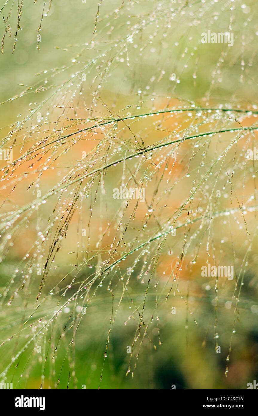 Dew drops hang from fine grasses - Stock Image
