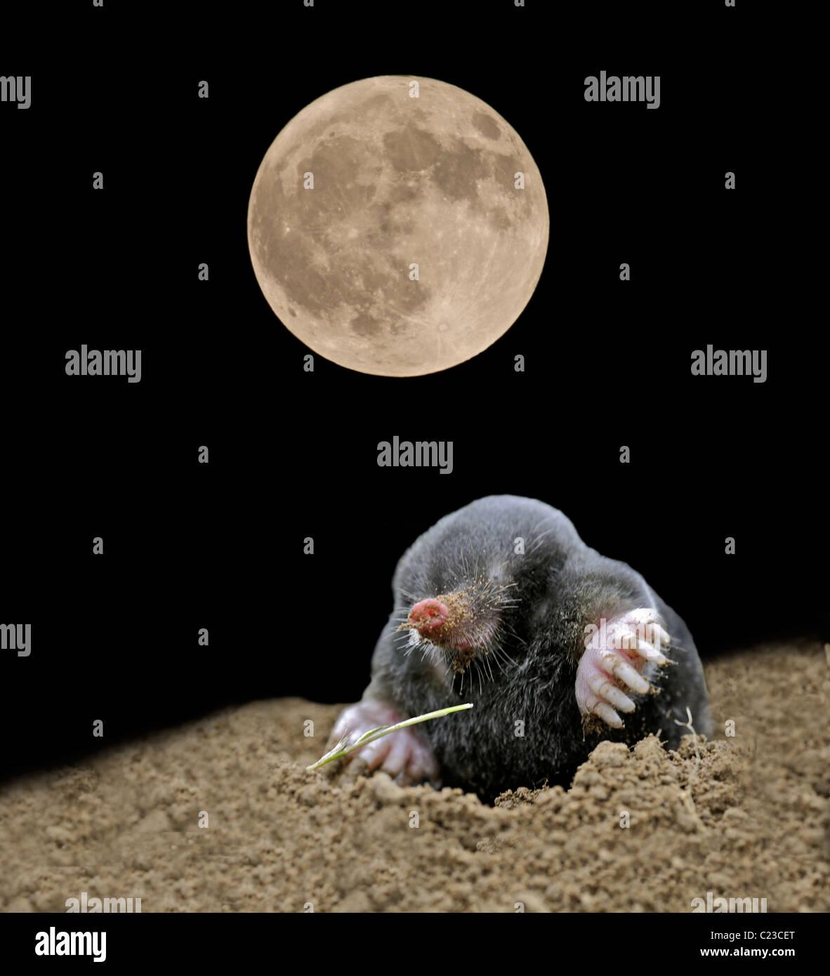 Mole common mole (Talpa europaea) by moonlight (digitally enhanced image) - Stock Image