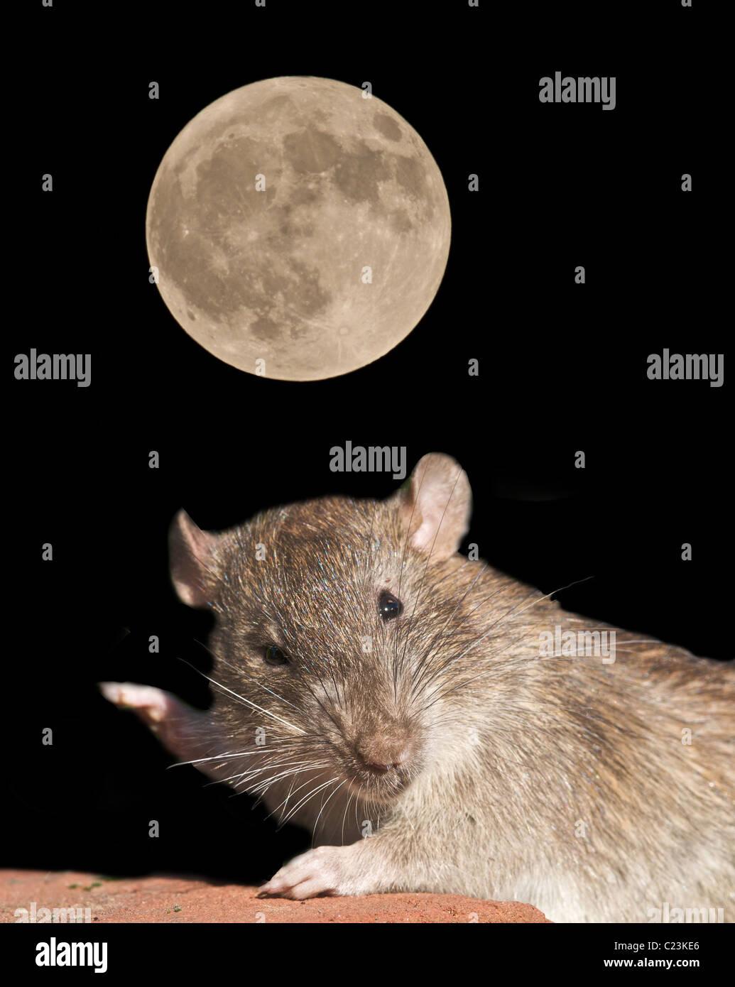 Common or brown rat (Rattus norvegicus) Digitally enhanced image by moonlight. UK - Stock Image