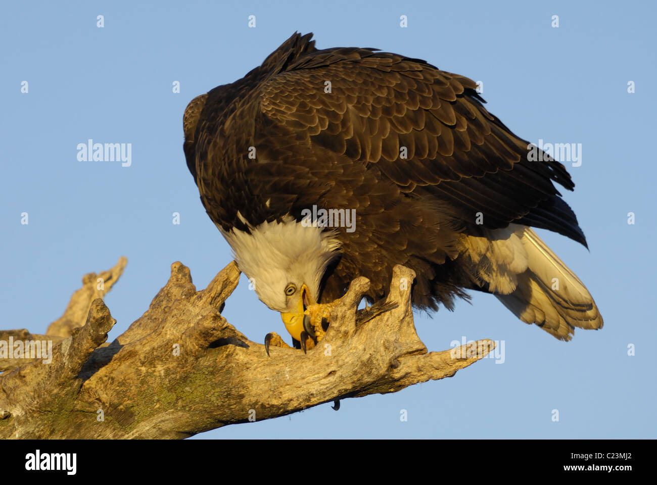 Mature Bald Eagles sitting on a dead tree trunk eating some fish at the beach of the Kachemak Bay near Homer in Stock Photo
