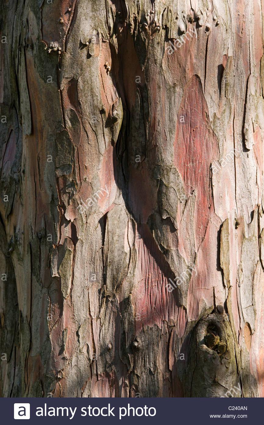 yew - Taxus baccata - Stock Image