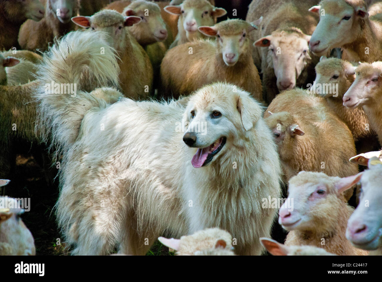 Maremma Sheepdog herding Finn-Dorset sheep, Stone Barns Center for Food and Agriculture, Pocantico Hills, New York, - Stock Image