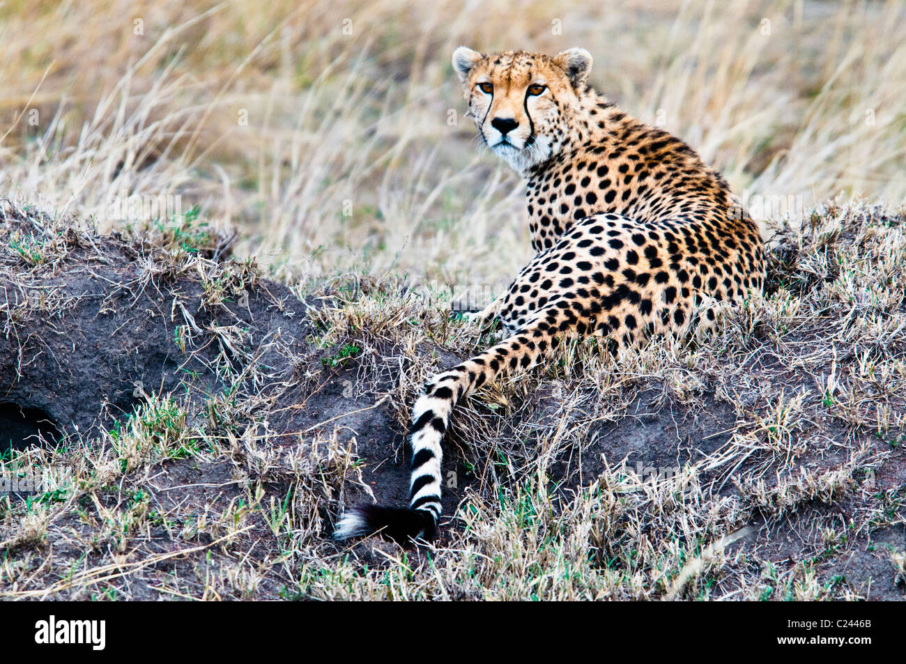Cheetah, Acinonyx  jubatus, searching for prey, Masai Mara National Reserve, Kenya, Africa - Stock Image