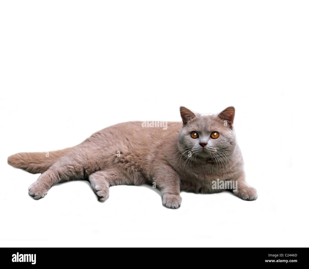 british shorthair cat on white background - Stock Image