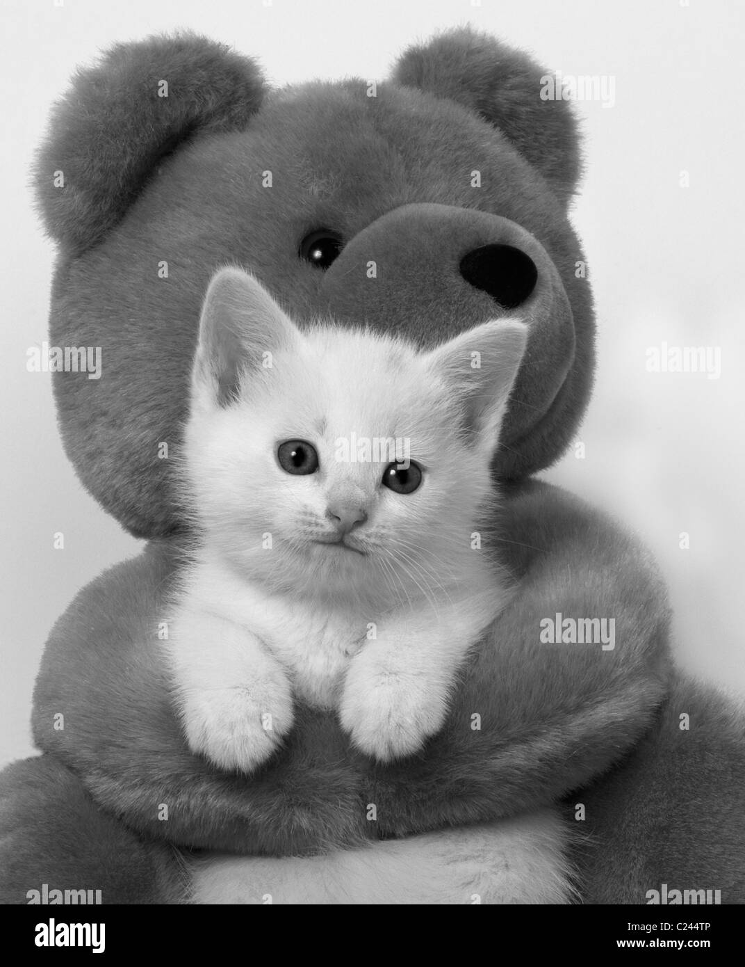 white kitten in arms of teddy bear B&W - Stock Image