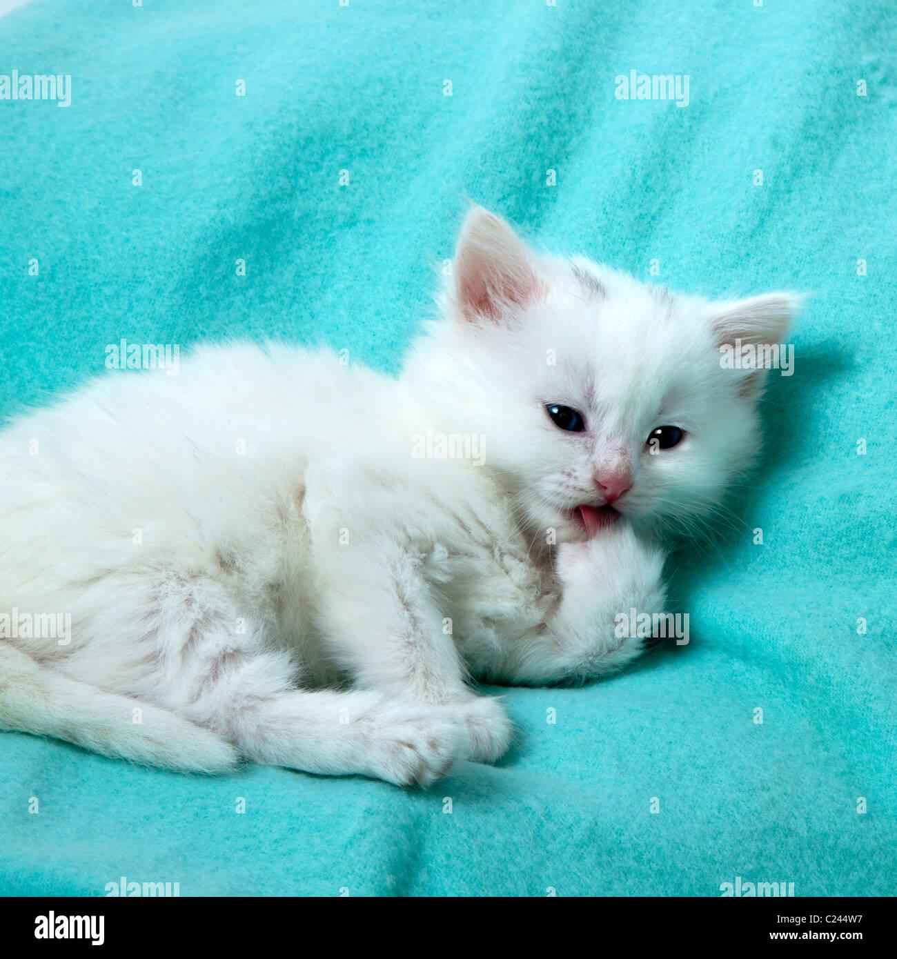 white kitten home alone washing - Stock Image