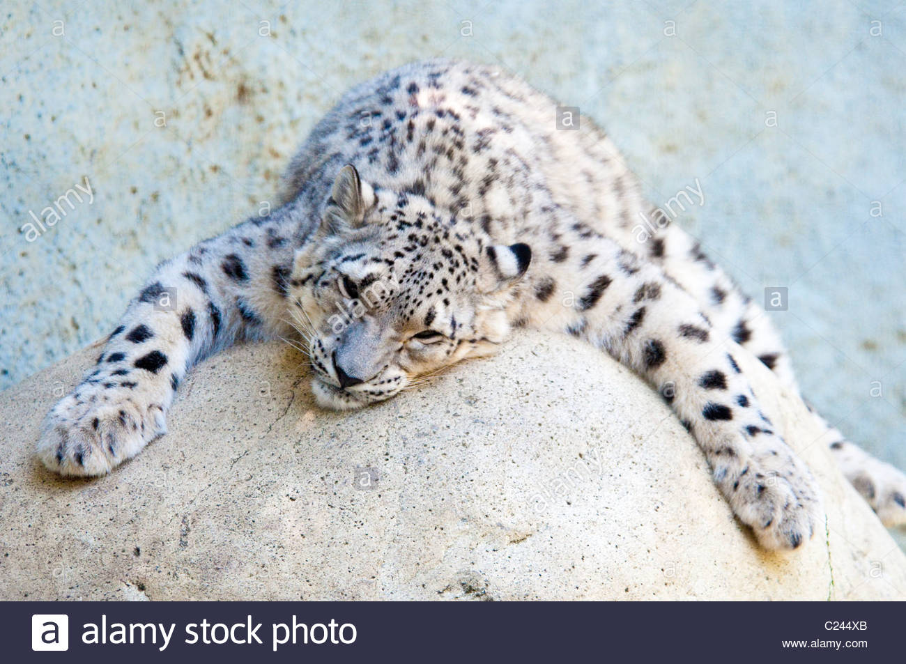 Snow Leopard, Panthera uncia, Los Angeles Zoo, California, relaxed, funny, sleeping, resting, sleepy snow leopard - Stock Image