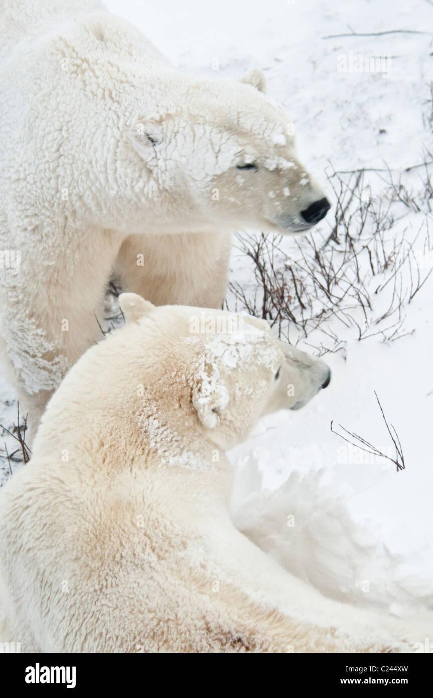 Two Polar Bears, Ursus maritimus, Wapusk National Park, near Hudson Bay, Cape Churchill, Manitoba, Canada - Stock Image