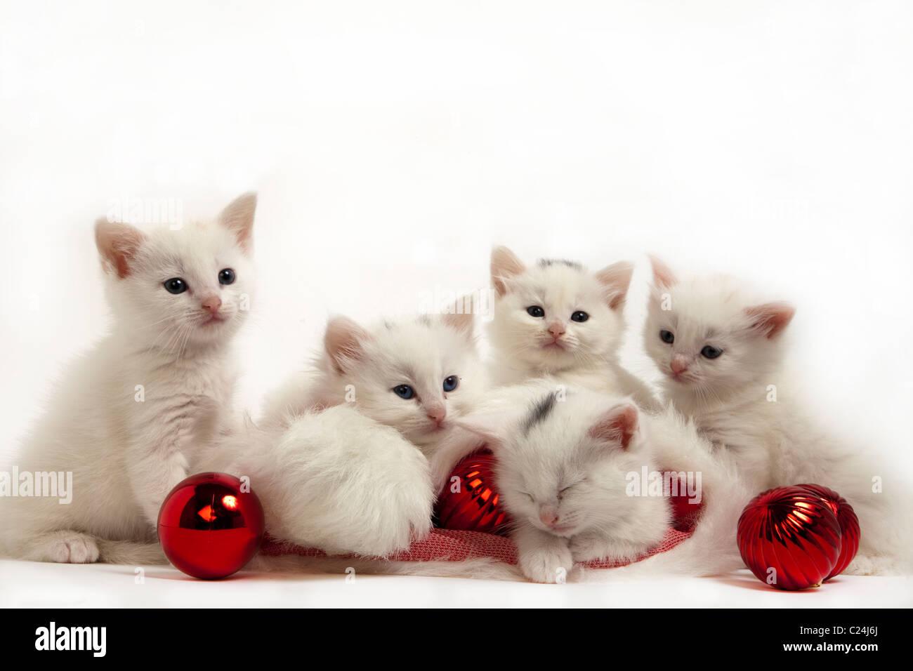christmas kittens - Stock Image