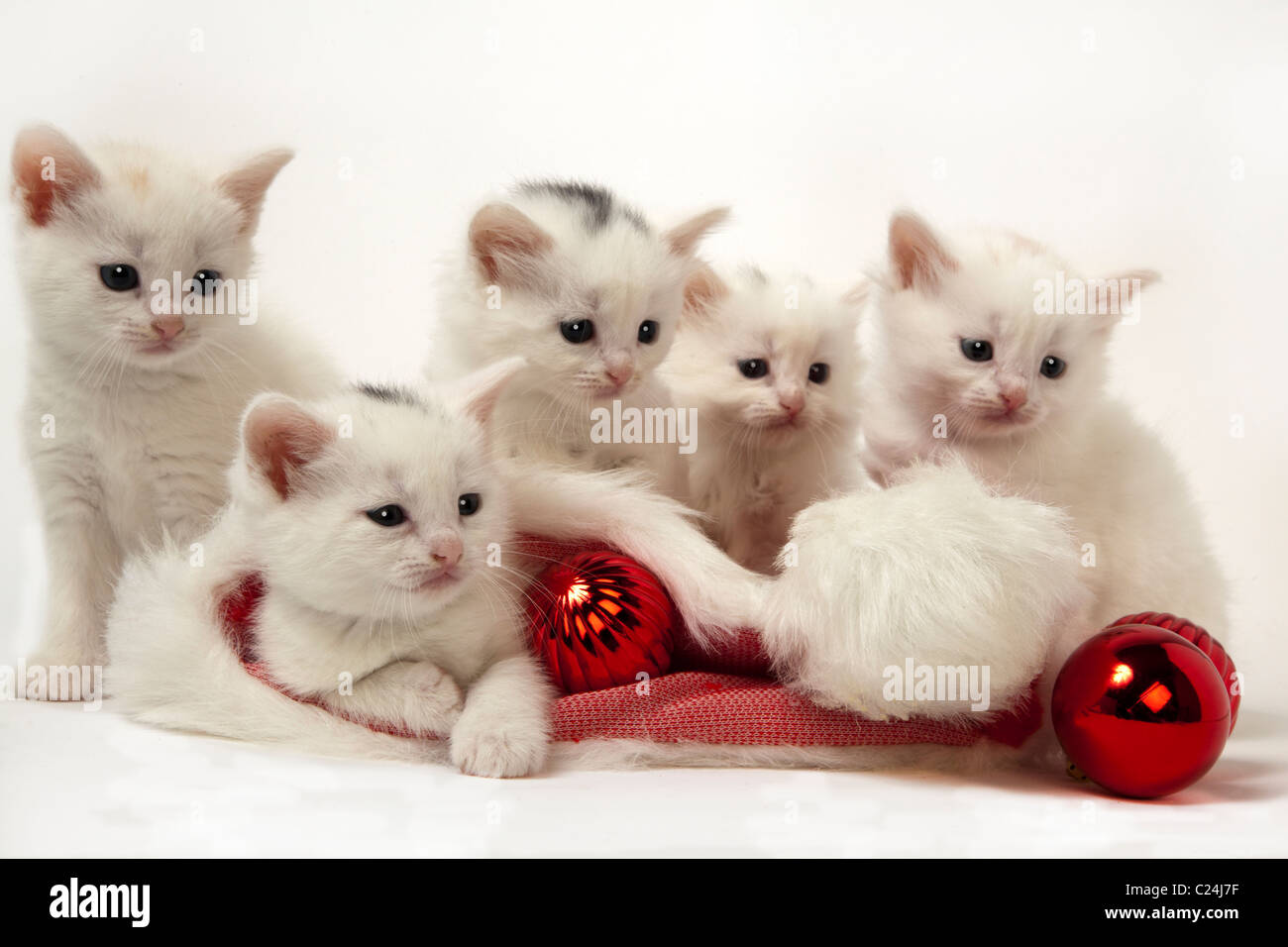 christmas kittens and santa hat - Stock Image