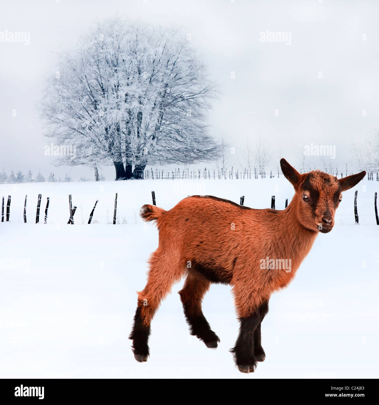 LANDSCAPE SNOW CHRISTMAS with CUTE  GOAT - Stock Image