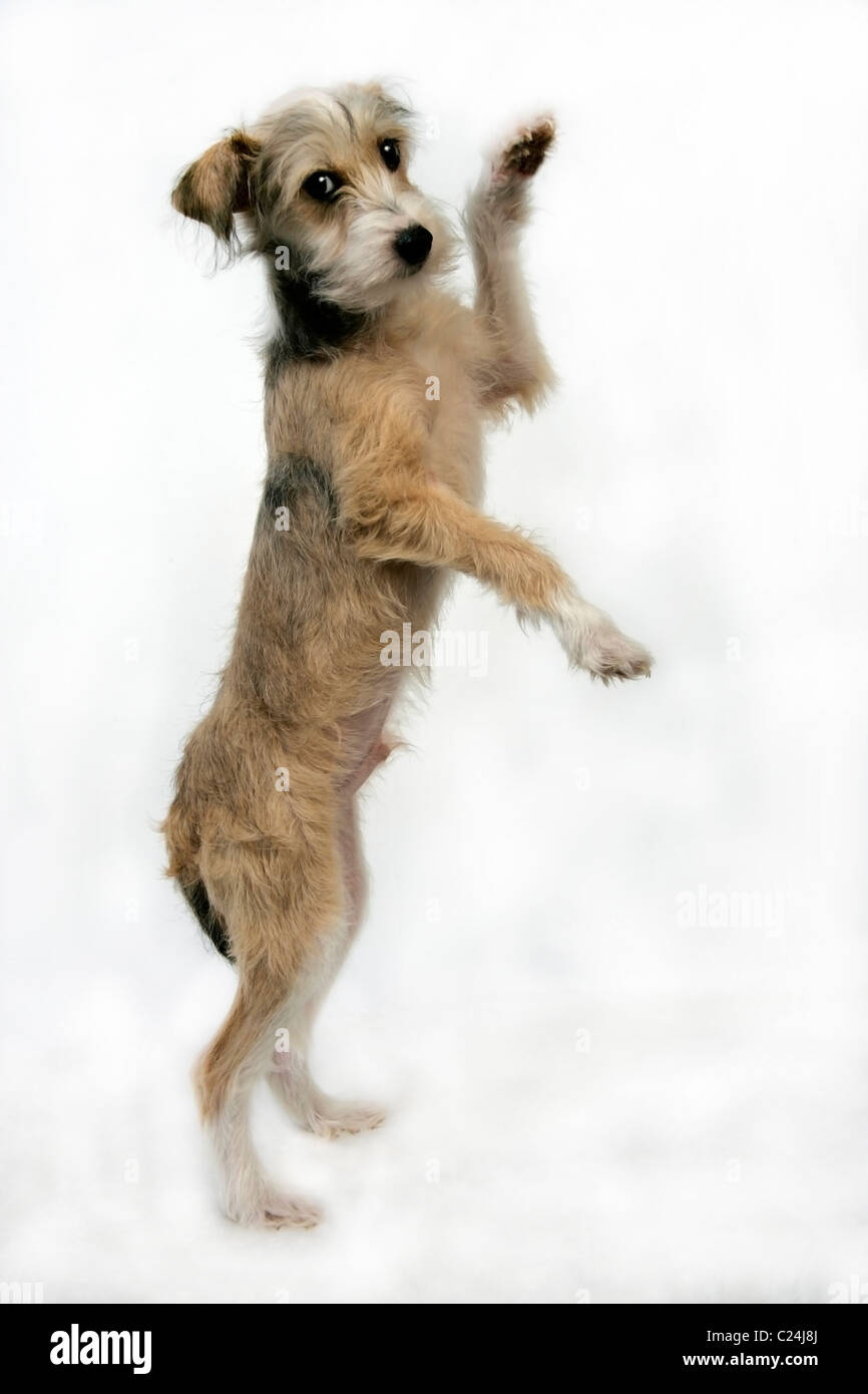 Dancing Dog High Resolution Stock Photography And Images Alamy