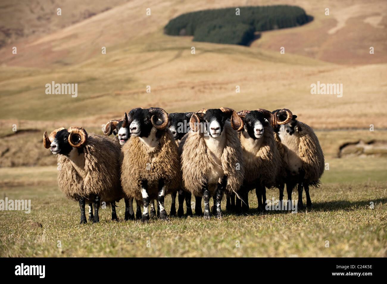 Scottish Blackface yearling rams in pasture. - Stock Image