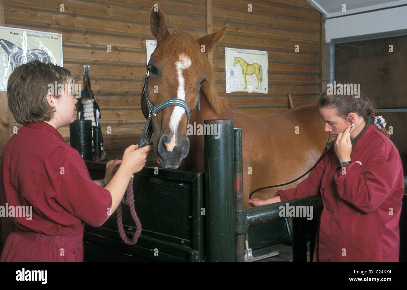 horse in veterinary hospital being checked over - Stock Image