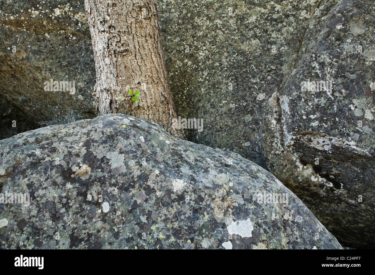 A tree growing from a crack between two boulders. - Stock Image