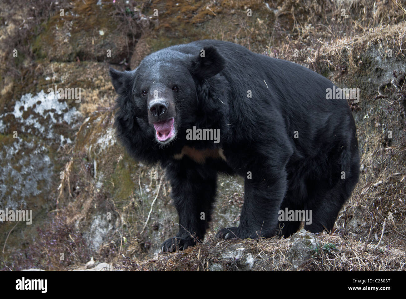 The Asian black bear (Ursus thibetanus), known as 'Kala Bhalu' in Hindi, at the Padmaja Naidu Himalayan - Stock Image