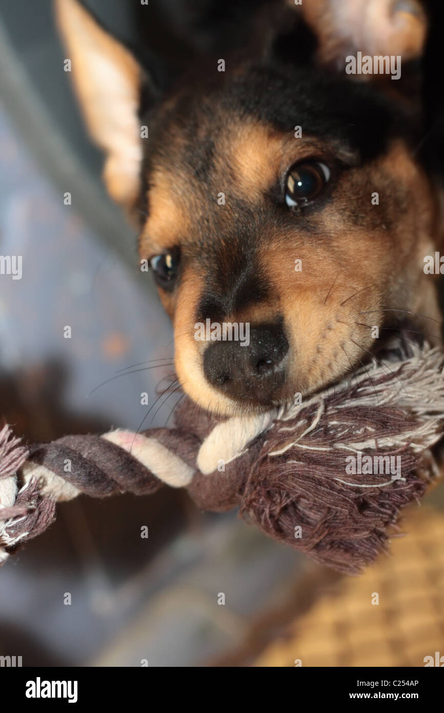 Cute Puppy is Biting its Toy Playfully - Stock Image