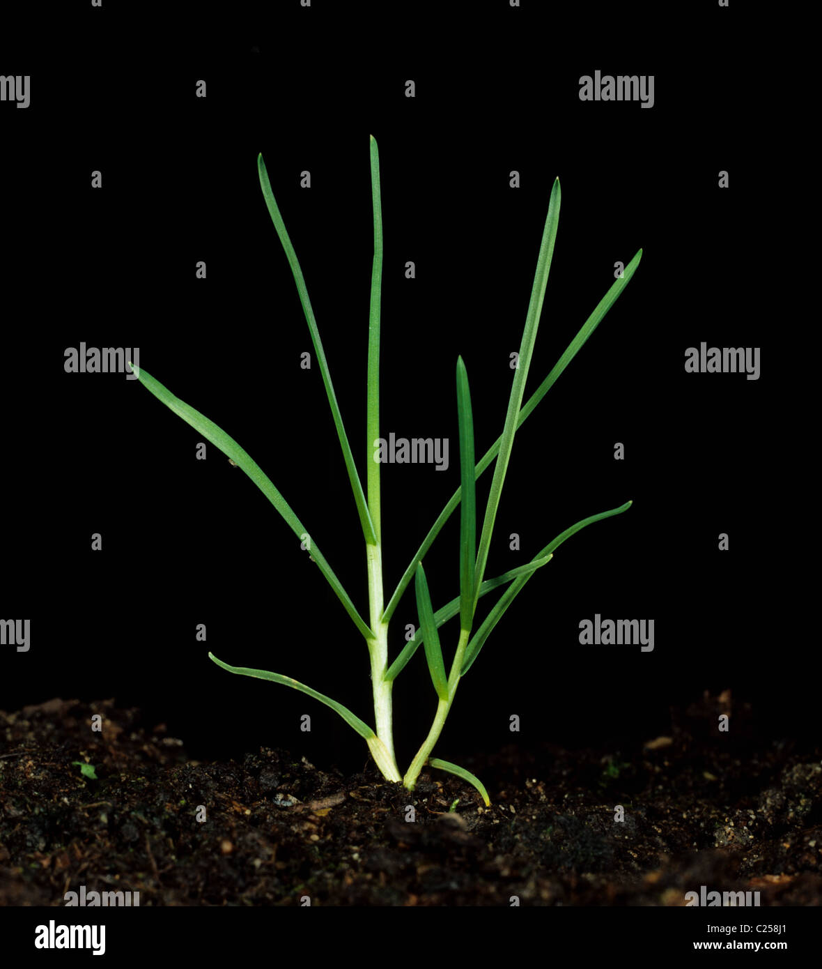 Rough-stalked meadow grass (Poa trivialis) tillering plant - Stock Image