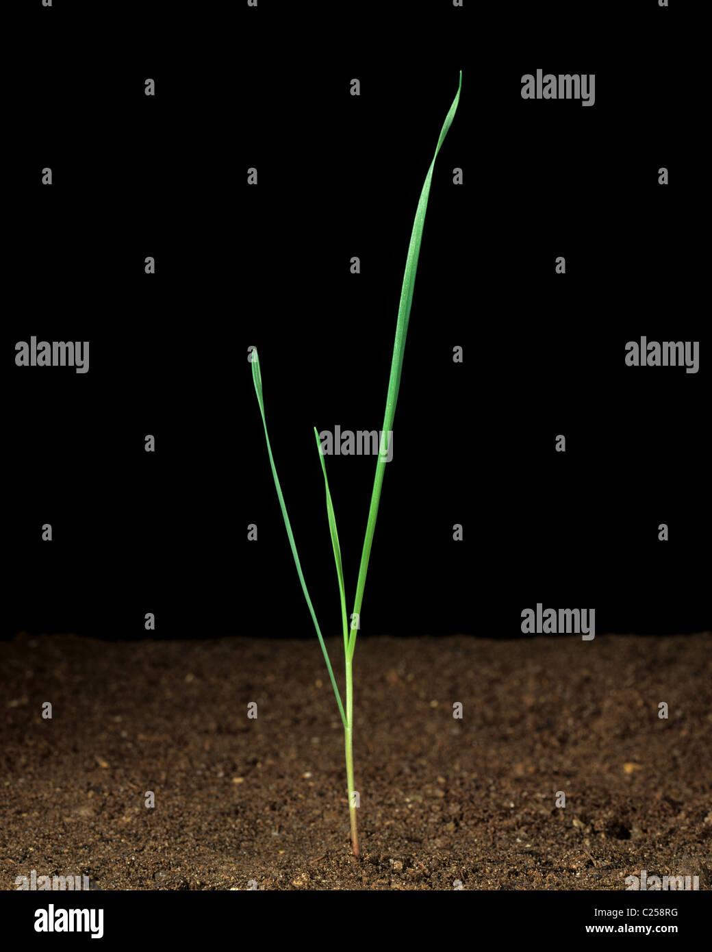 Gnawed canary grass (Phalaris paradoxa) seedling plant - Stock Image
