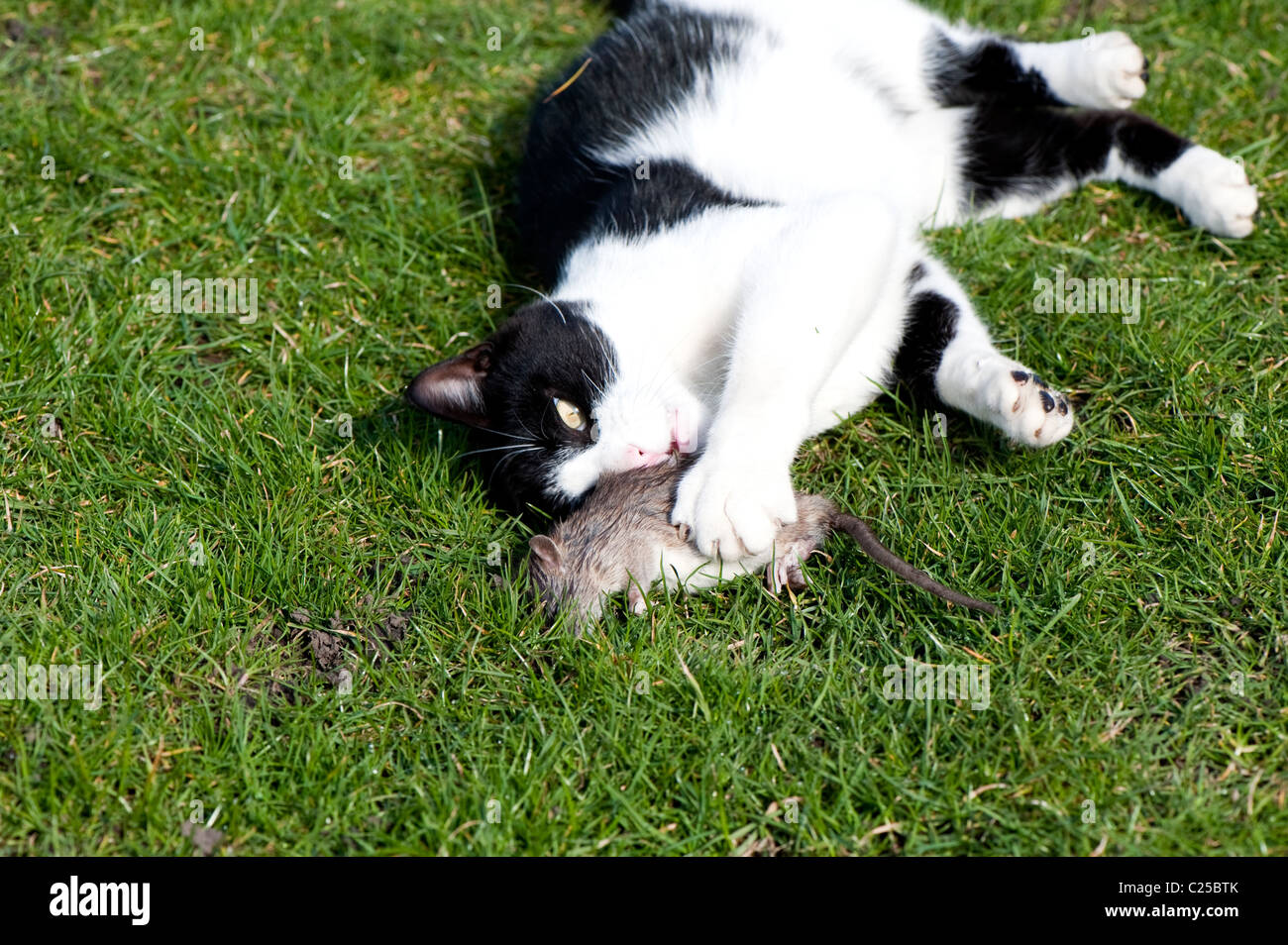 Black and white cat playing with captured rat. - Stock Image