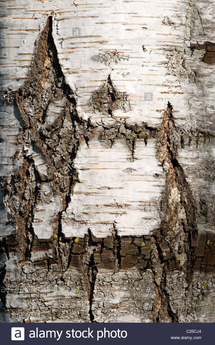 Silver Birch bark - Betula pendula Roth (Verrucosa) - Bouleau Lacinie - Stock Image