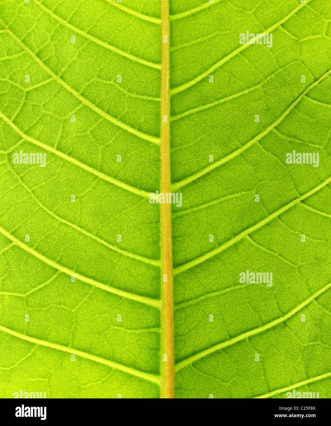 Green leaf close up - Stock Image