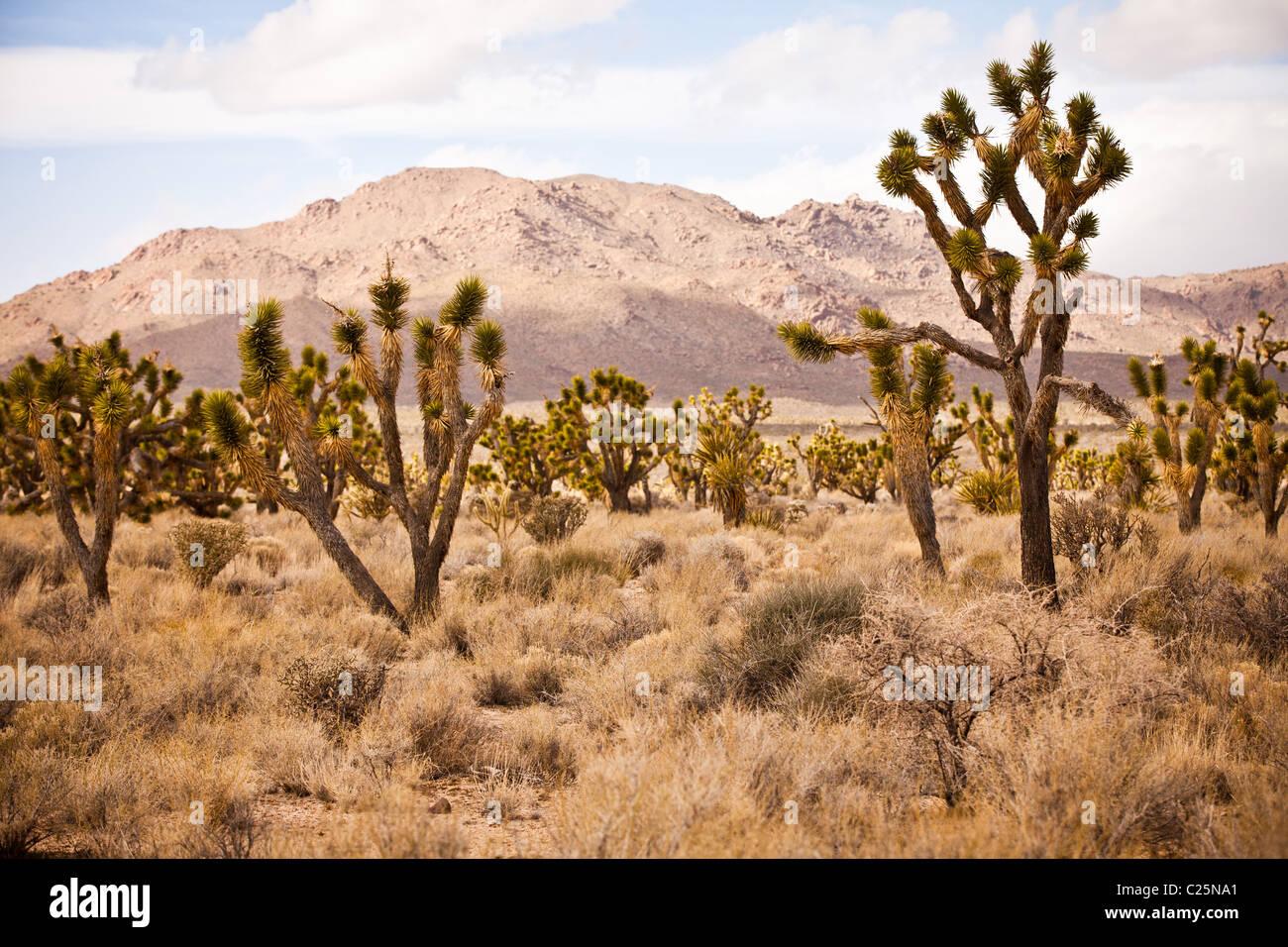 Joshua Trees in the Mojave Desert in the Mojave National Preserve, San Bernardino, CA - Stock Image