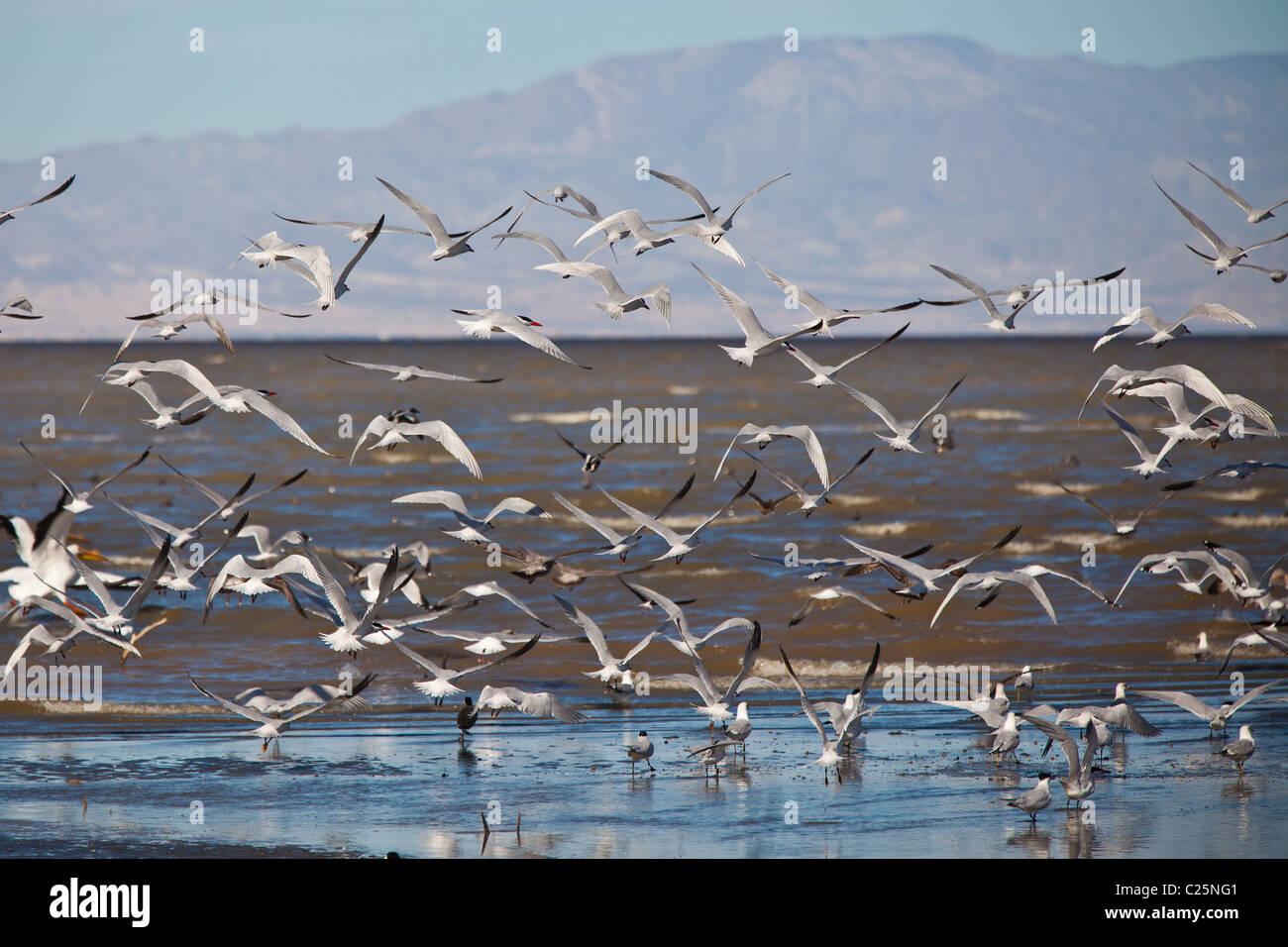 Migrating birds at the Sono Bono National Wildlife Preserve on the Salton Sea, California Stock Photo