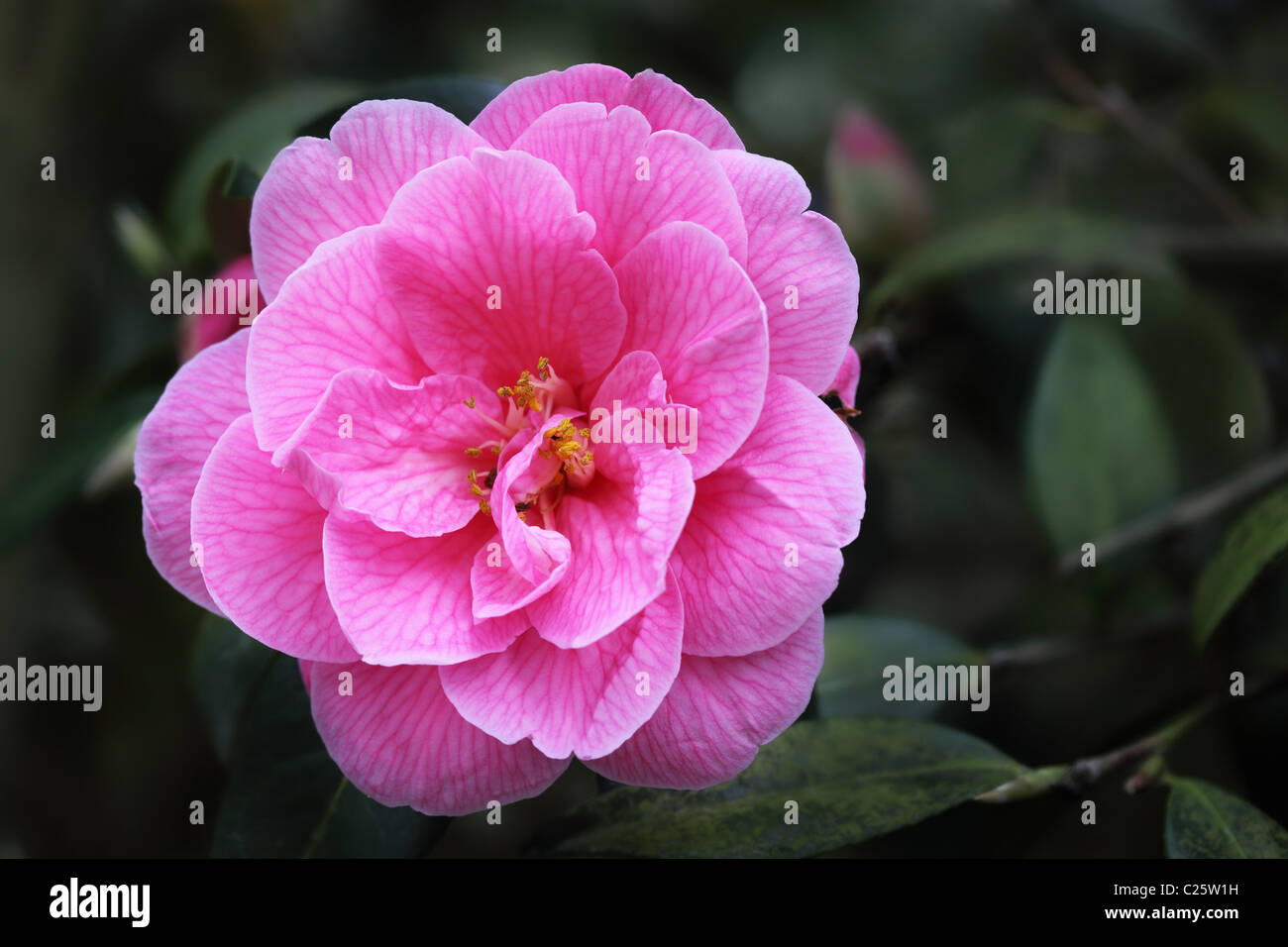 Close up of a perfect Pink Camellia against a dark blurred background - Stock Image