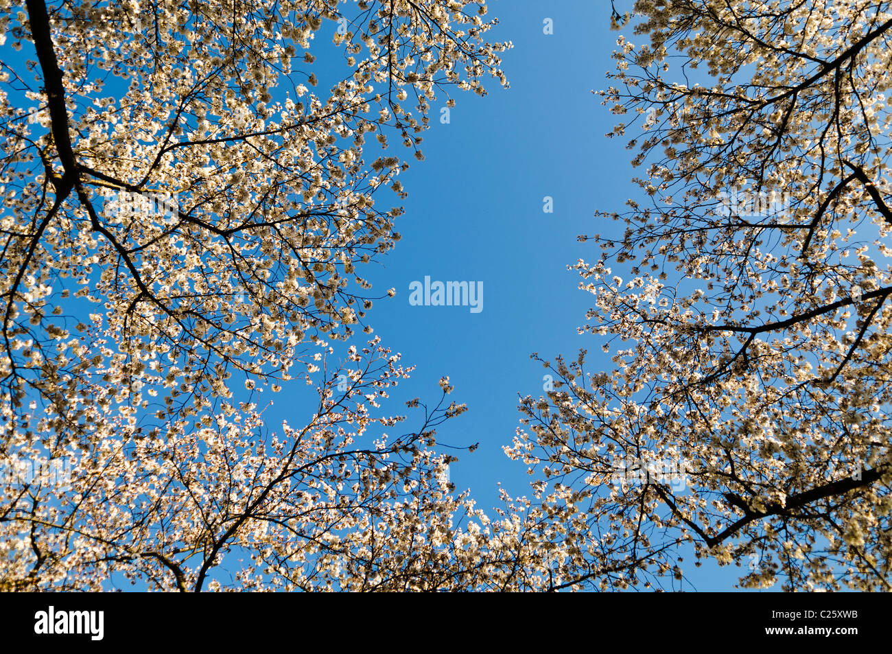 WASHINGTON DC, USA - Branches laden with Cherry Blossom flowers ring the frame, with clear blue sky in the middle - Stock Image