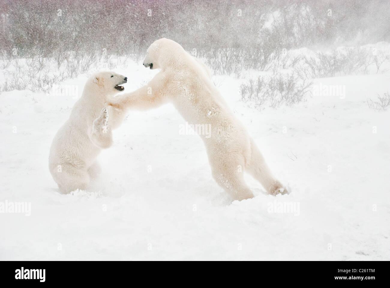 Polar Bears, Ursus maritimus, play fighting, Wapusk National Park, near Hudson Bay, Cape Churchill, Manitoba, Canada - Stock Image