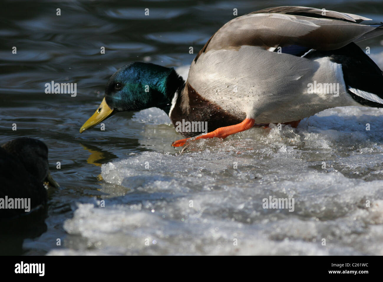 Drake Mallard Duck tentatively enters the water - Stock Image