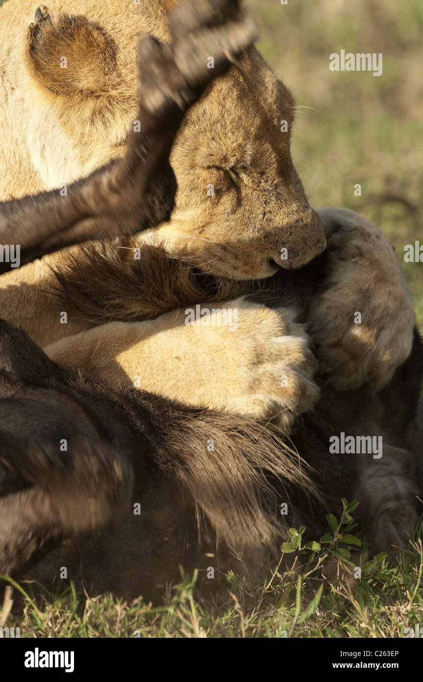 Stock photo of a lion killing a wildebeest by suffocation. - Stock Image