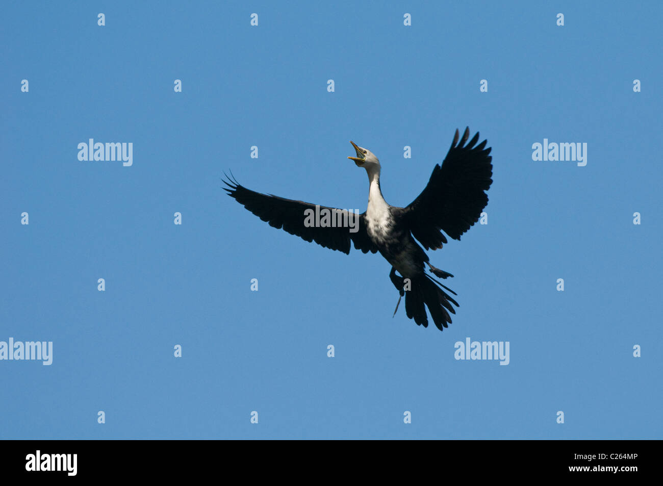 A Shag prepares to land in a tree - Stock Image