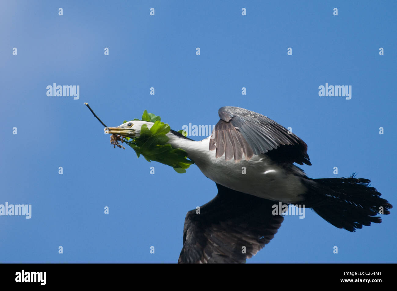 A Shag carries nesting materials in its beak - Stock Image