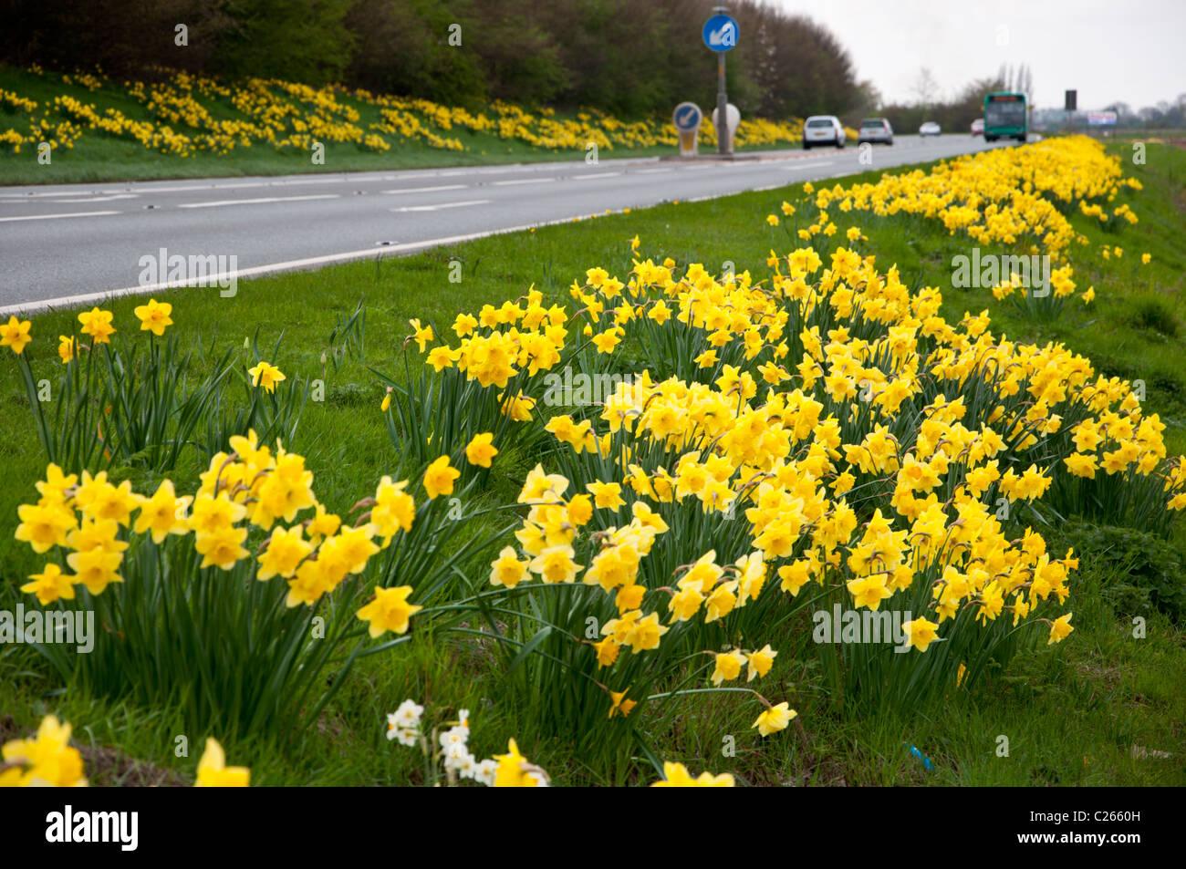 Daffodils on roadside grass verge Holbeach  Lincolnshire - Stock Image