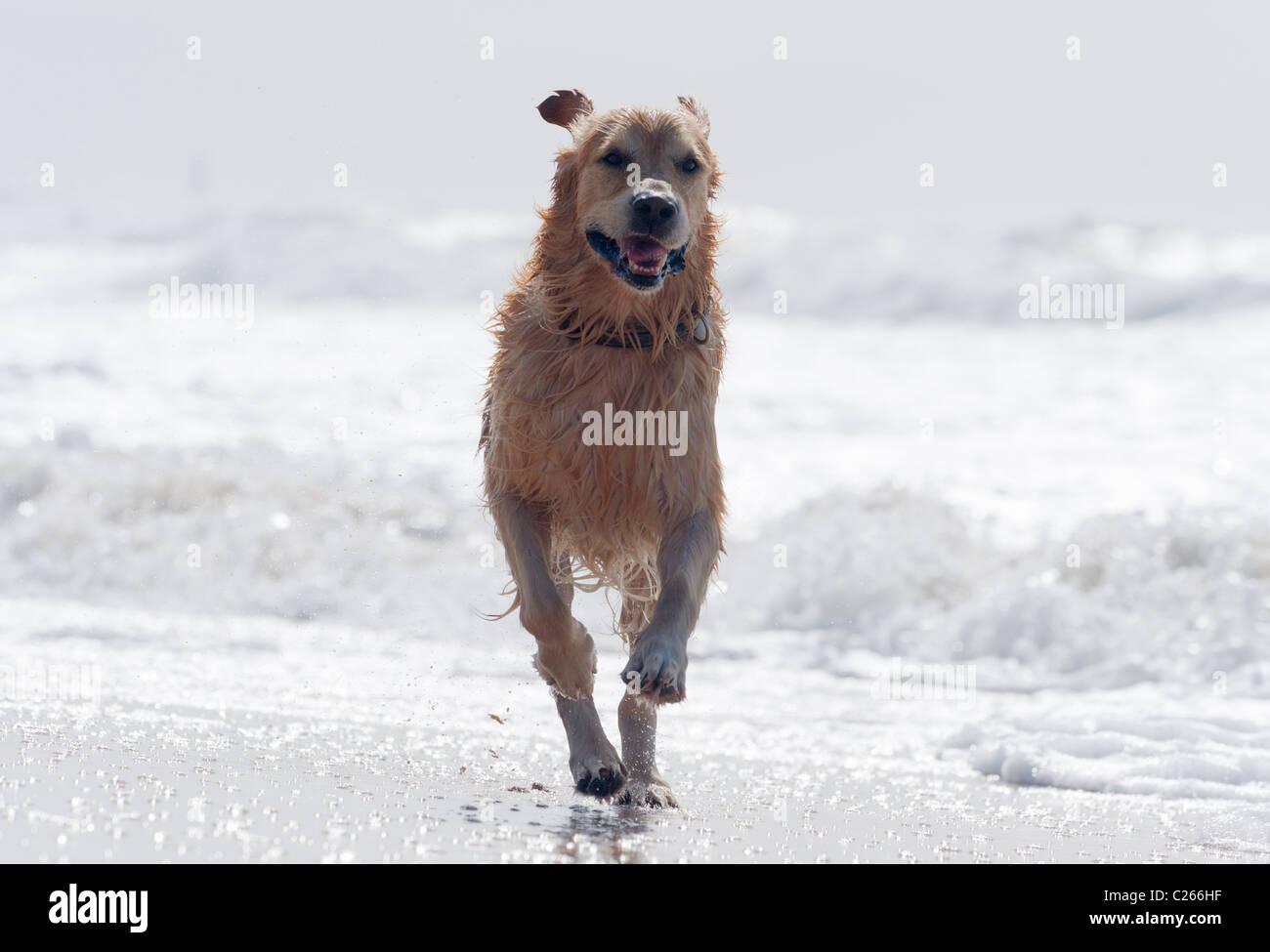 Golden retriever running at the beach. - Stock Image