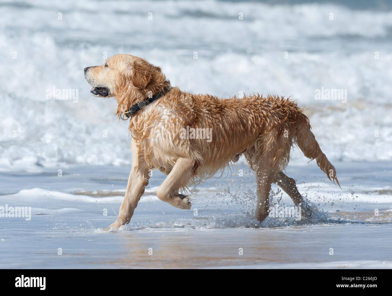 Golden retriever at the beach. - Stock Image