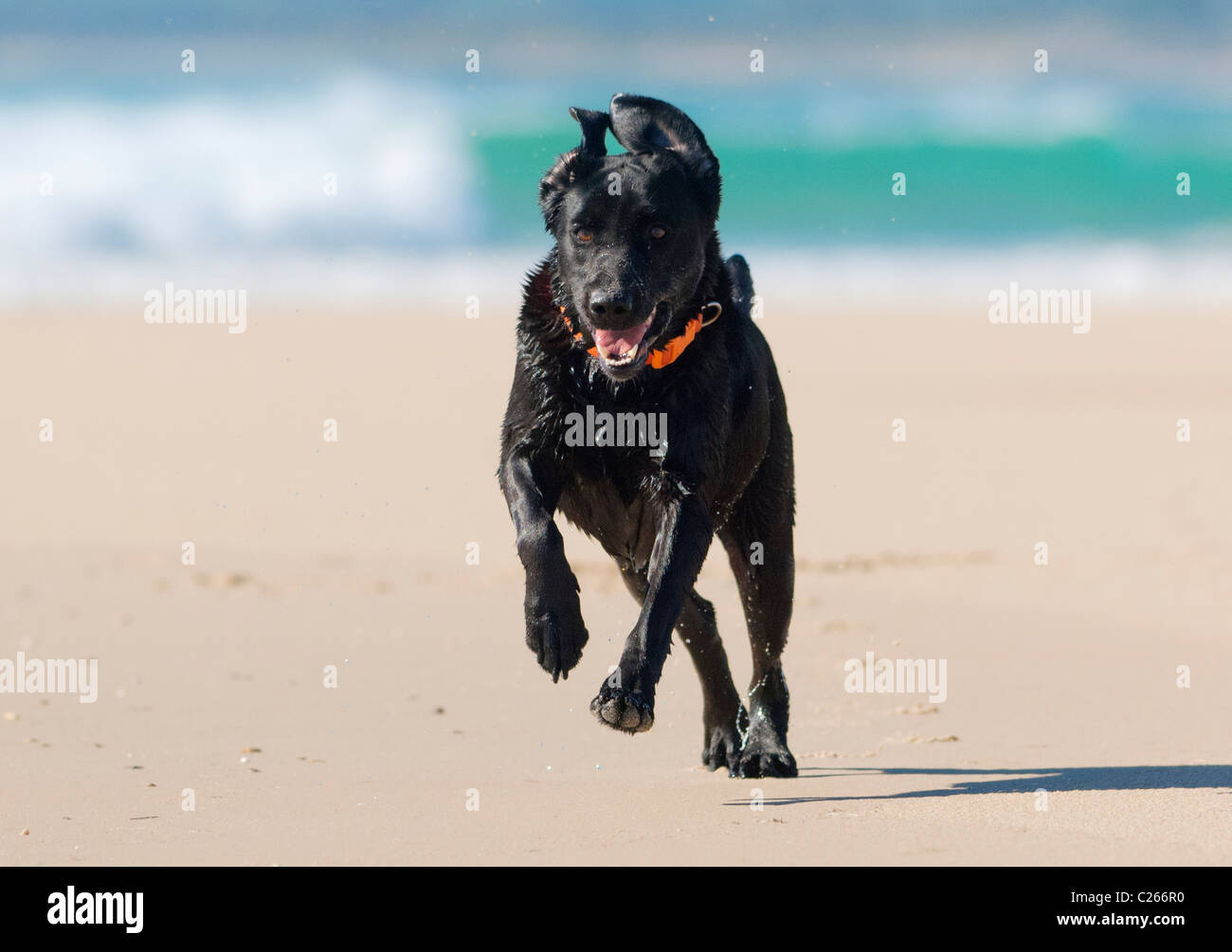 Fit labrador running along the beach. - Stock Image