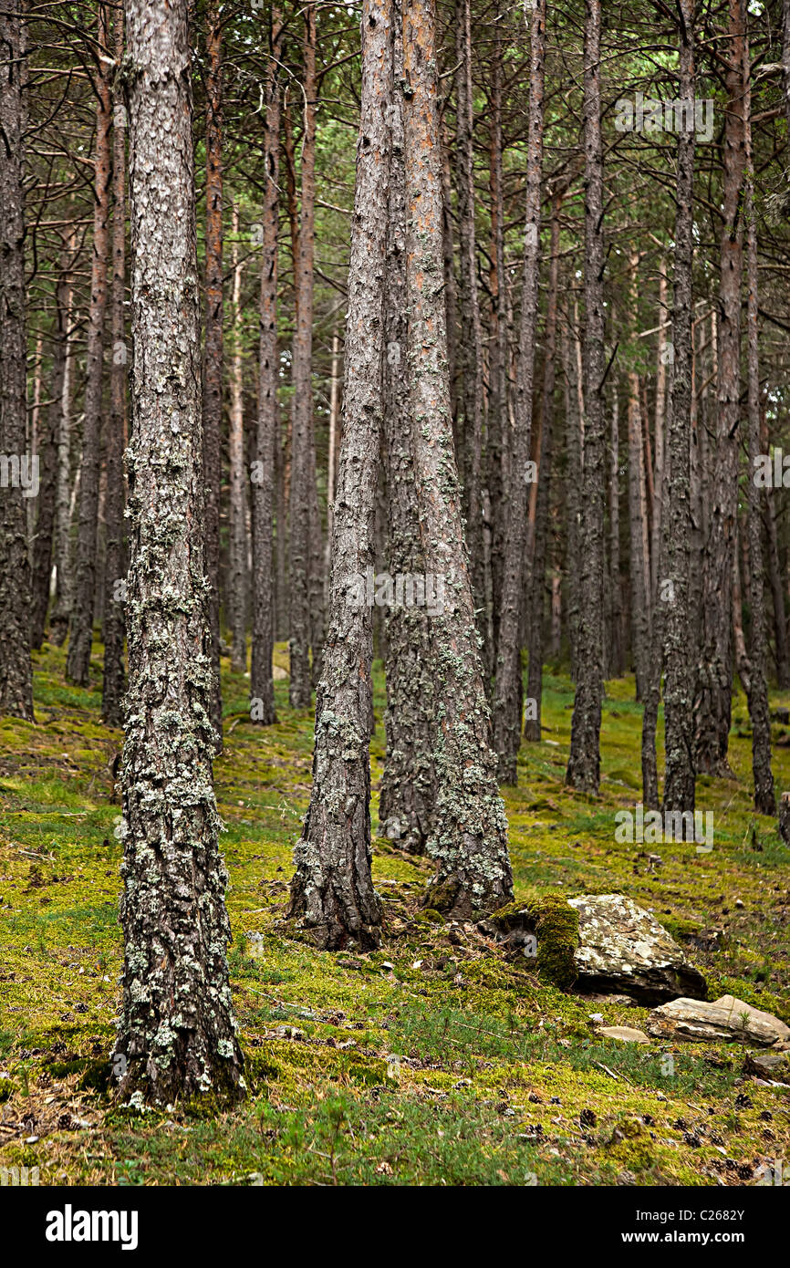 Pine forest with moss and lichen showing clean air conditions Andorra - Stock Image