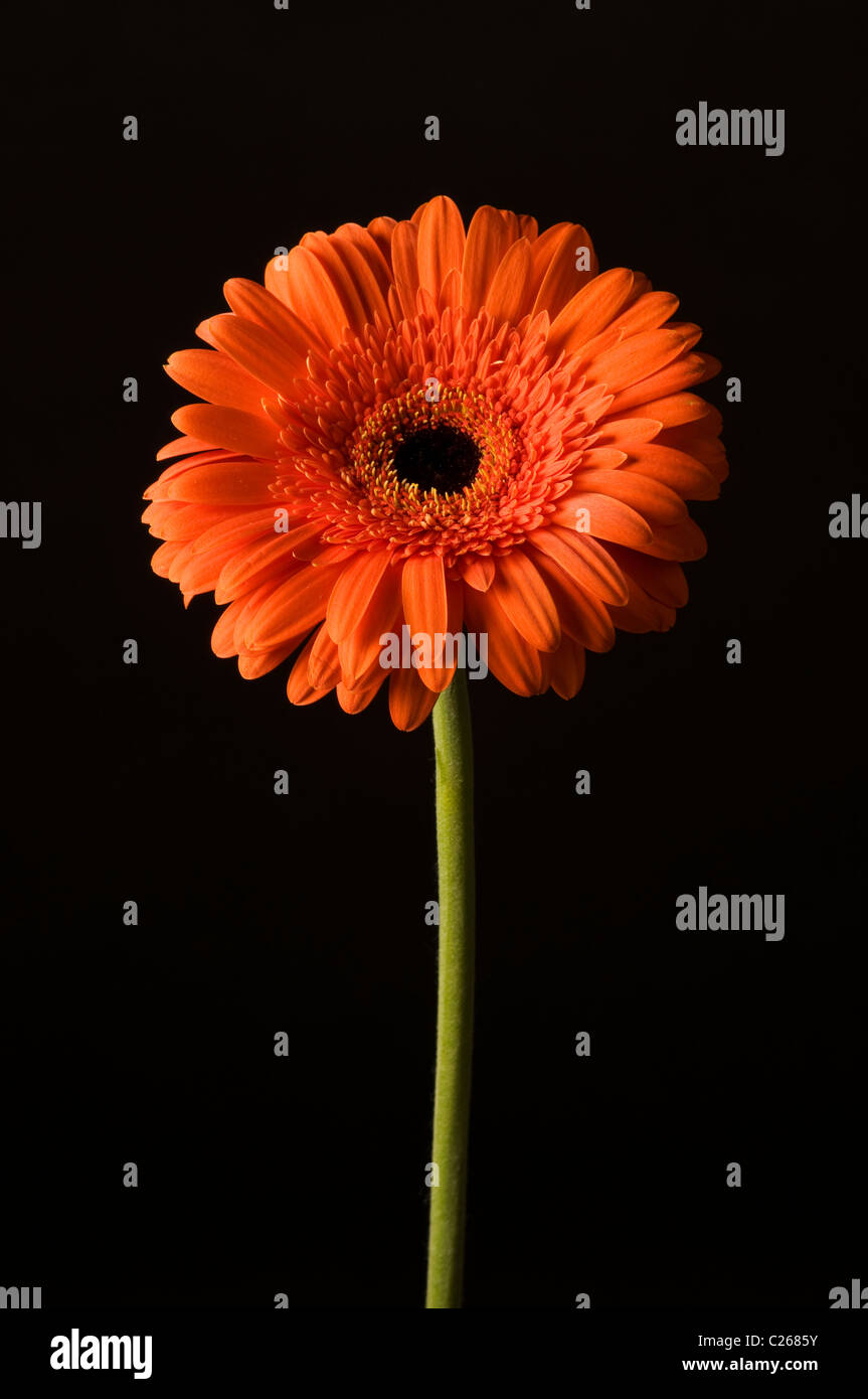 An orange gerbera flower in entirety with side lighting. - Stock Image