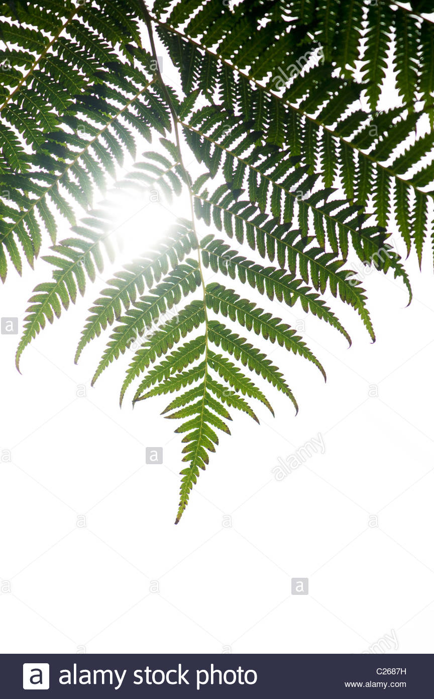 Dicksonia squarrosa leaf against white sunlight background - Stock Image