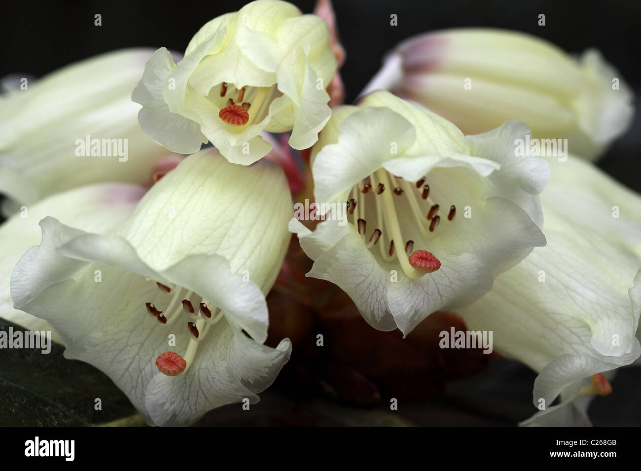 Close up of a beautiful Rhododendron Macabeanum flowering in an English garden - Stock Image