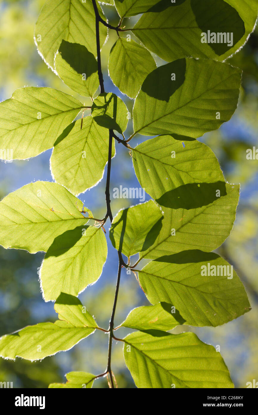 fresh green backlighted glowing leaves in spring sun on a twig - Stock Image