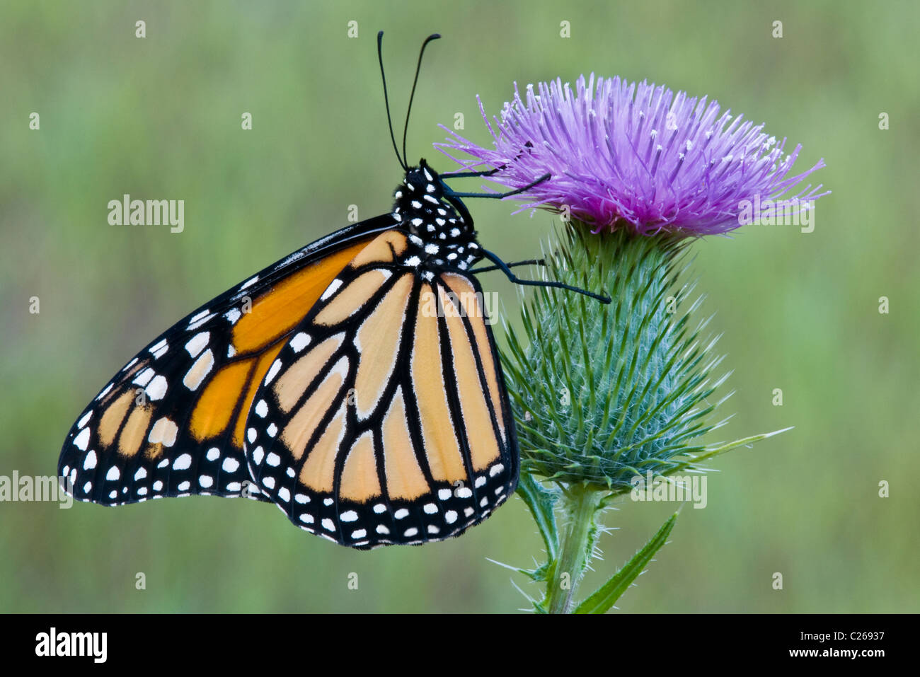 Monarch Butterfly danaus plexippus feeding nectaring pollinating Bull Thistle flower Cirsium vulgare Eastern USA - Stock Image