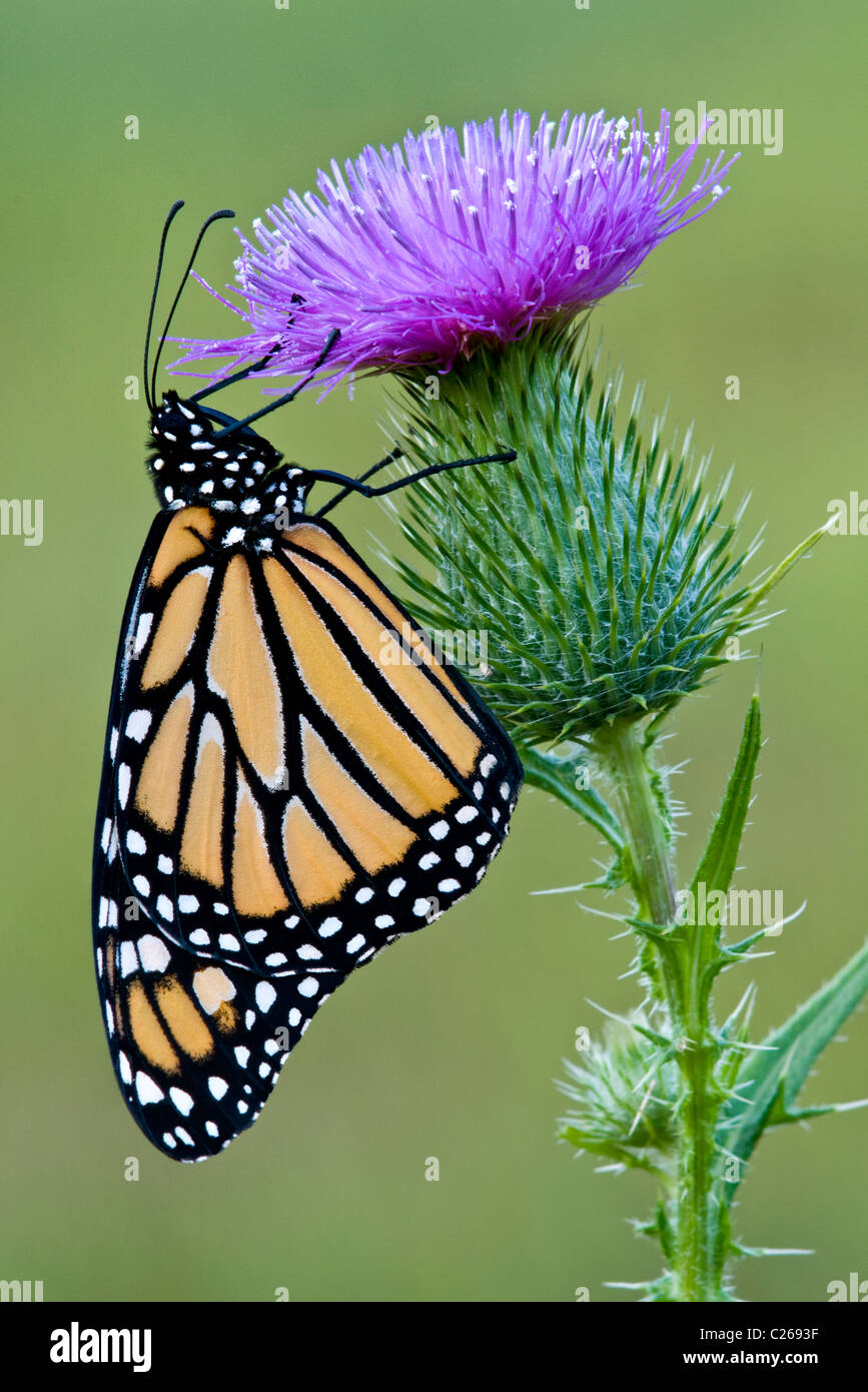 Monarch Butterfly feeding nectaring pollinating  Bull Thistle flower Cirsium vulgare Eastern USA - Stock Image