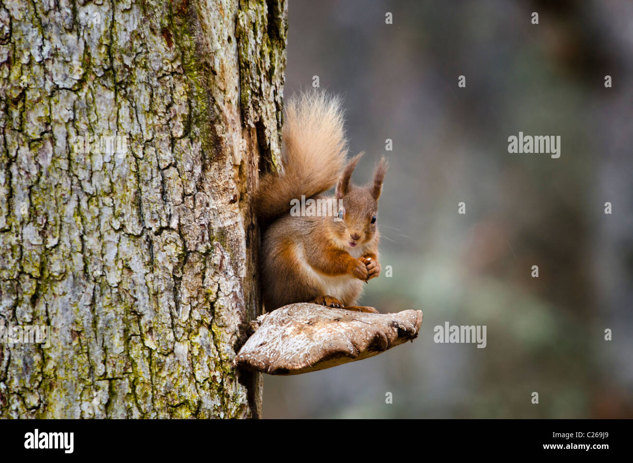 Red squirrel perched on a bracket fungus. - Stock Image