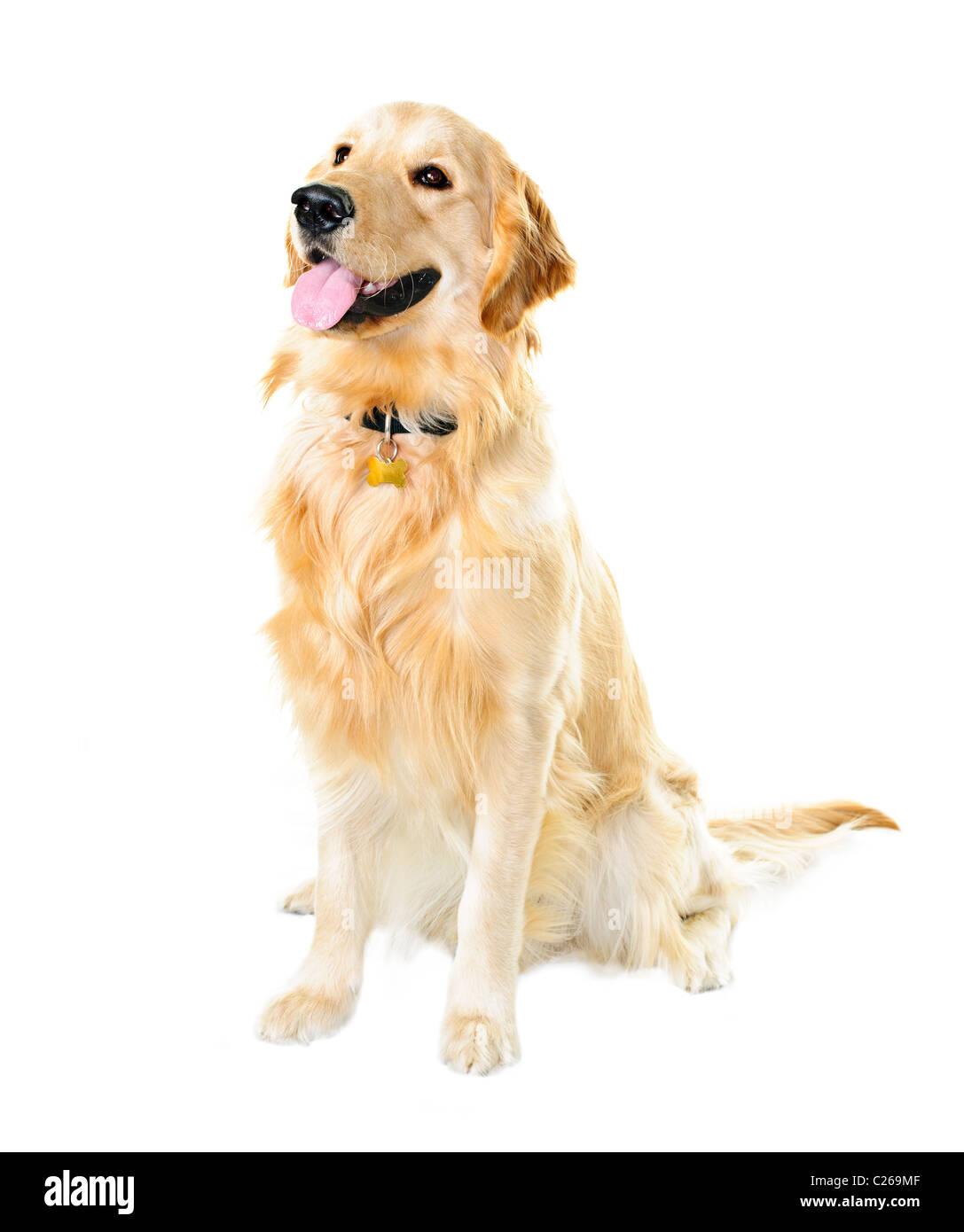 Golden retriever pet dog sitting isolated on white background - Stock Image